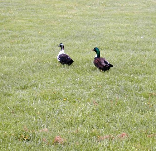 geese 5