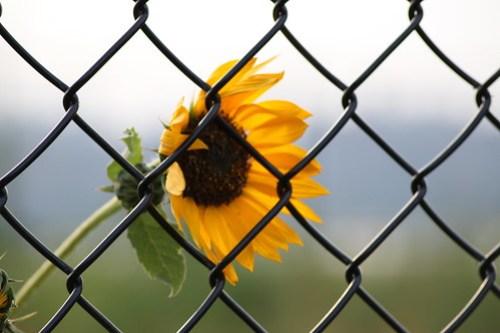 Sunflower in bloom @ Transmitter Park