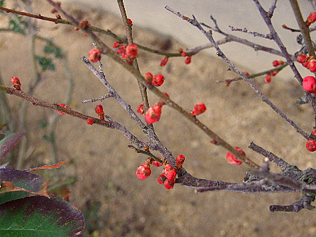 梅の花(赤)~笹川流れ