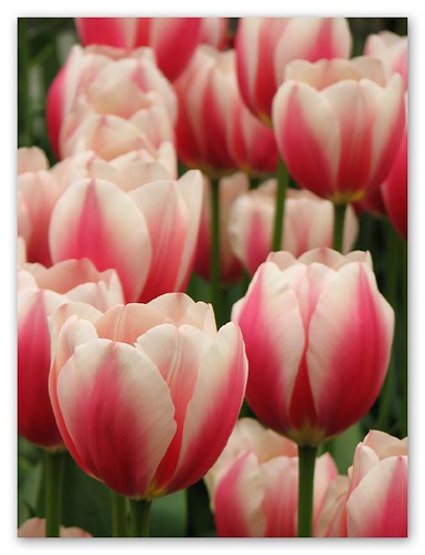 Pink/white tulips by you.
