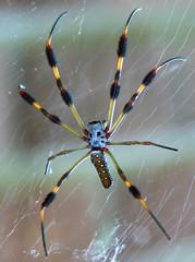Spider Silk: the super material of the future