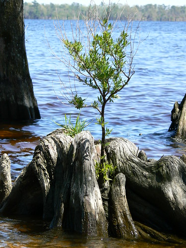 Newbold-White House - Tree Grows on Cypress Stump in River (Close)