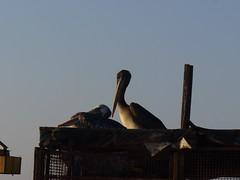 Pelicano Observador