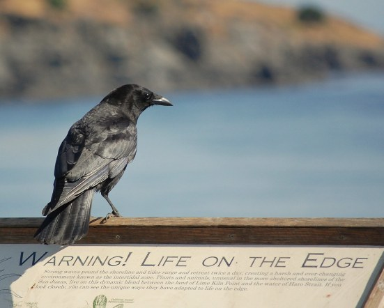 Crow With a Message