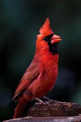 cardinal photography
