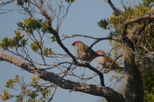 Finches on Mornington Peninsula