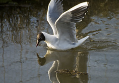 Black-headed Gull feeding
