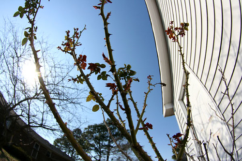 backyard_thorns030809