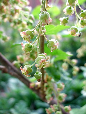 blackcurrant flowers. I love the way theyre so delicate.