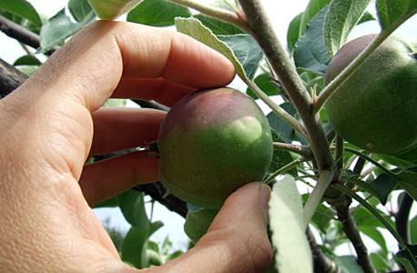 as maçãs crescem