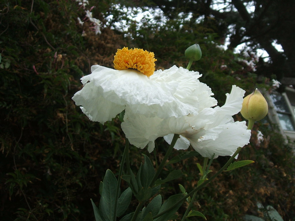 White poppy with yellow center