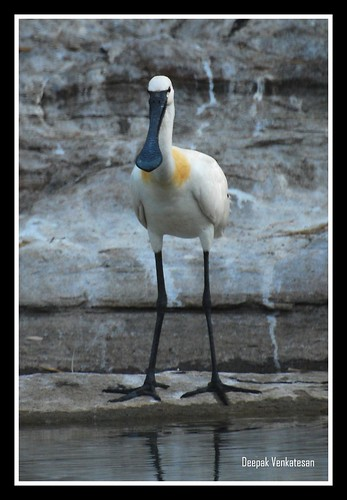 The Eurasian Spoonbill-2