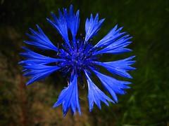 Dwarf Cornflower
