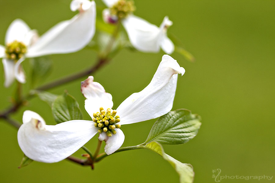 Dogwood or Flying Nun?