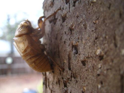 Cicada Perch