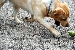 canined english labrador retriever aggressive dog playing us nyc 030109 41 by canined.com dog pictures