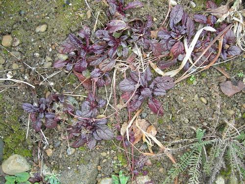 Purple winter groundcover