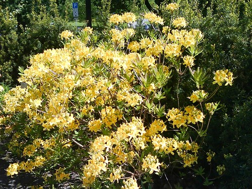 Sunny yellow rhodedendrums