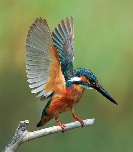 River Kingfisher, taken at Guandu, Taipei City, TAIWAN