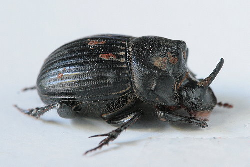 Odonteus sp.