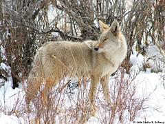 Coyote - Rocky Mtn Natl Park