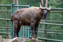 Mishmi Takin im Zoo Gdansk