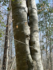 Merchant's Millpond State Park - Beech Tree Merges Into Itself