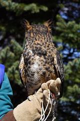 Great Horned Owl Looking Backward