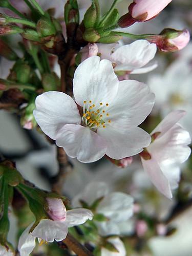 桜~笹川流れ