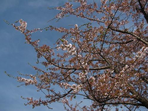 Goodbye Sakura...