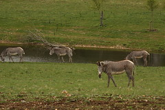 Grevy Zebra enjoying their new waterhole