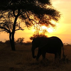 Elephant at sunset on safari
