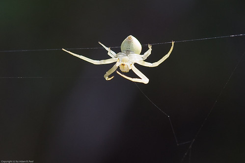 White spider by you.