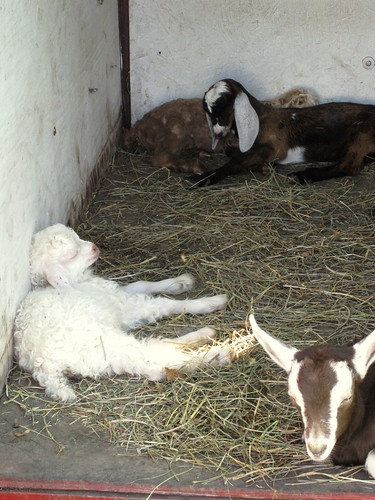 115/365: Baby Goats