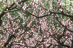 orchard-limbs-blossoms