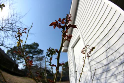 backyard2_thorns030809