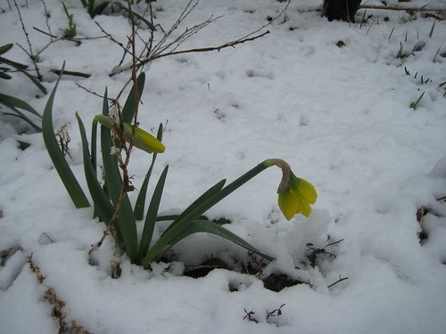 First daffodils, last snow