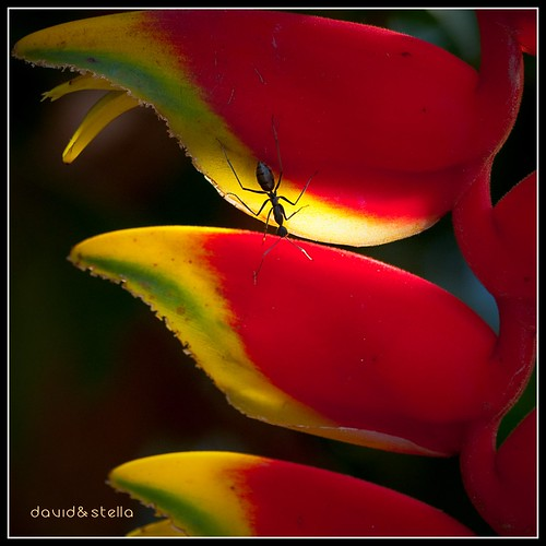 Ant on Hanging Crab Claw {heliconia rostrata}