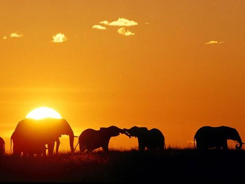African Elephants, Masaai Mara, Kenya, Africa