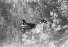 Wood Ducks on Pond (1975)
