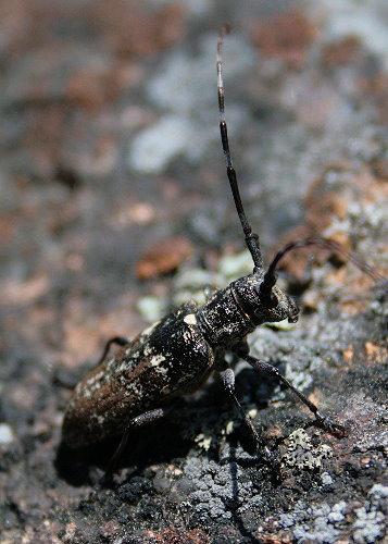 Female White-spotted Sawyer - Monochamus scutellatus