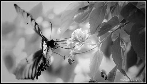 Golden Birdwing {troides amphrysus} [b/w]