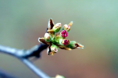 Bradford Pear Flower Buds