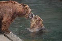 Kodiak Bären im Zoo Riga