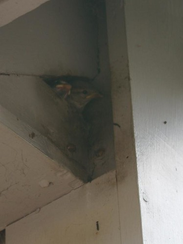 Baby sparrows nest