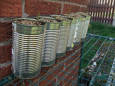 large tins (ex dog food tins!) cleaned out, filled with compost, and with freesia bulbs in, just germinating. With luck these will give me a lovely display over summer. (Mom: mitts orf!)