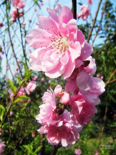 盛開美麗的粉紅杏花。