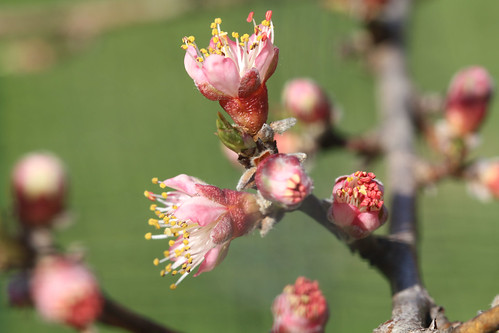 Peach Blossoms 5