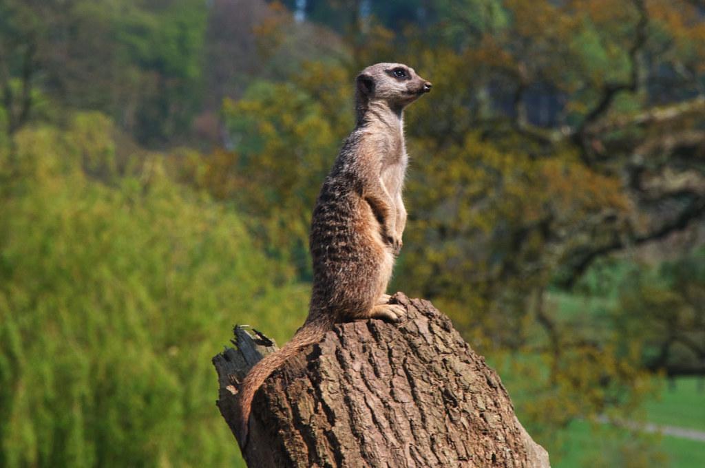 Image result for alexander orlov meerkat images