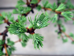 Water spheres on spring larch foliage